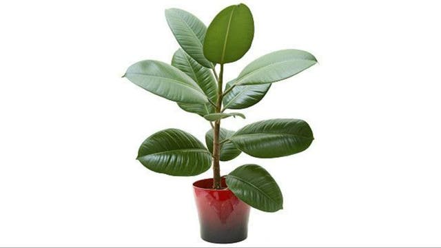 Árbol del caucho (Ficus robusta)