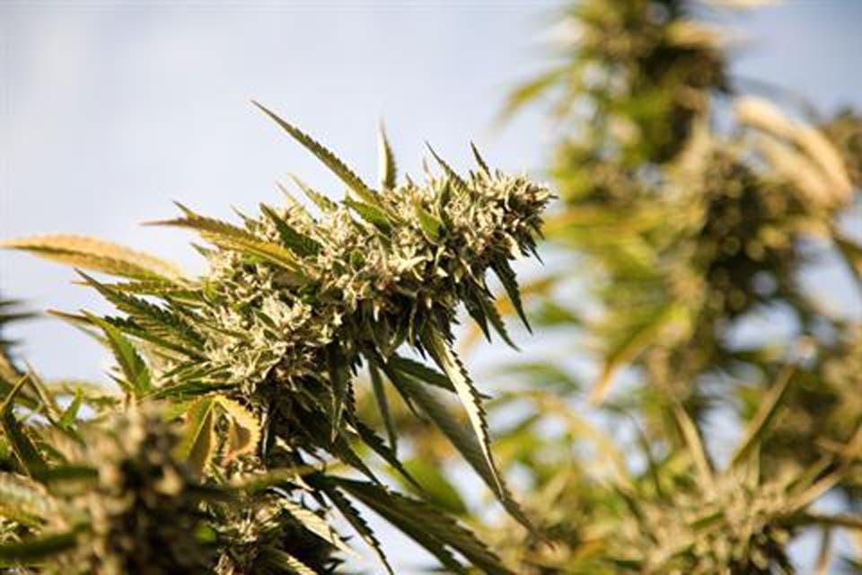 Marihuana: la vida por una flor
