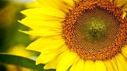 Gracias a las computadoras, hoy entendemos el mecanismo que gobierna las semillas del girasol.