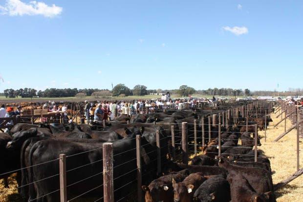 La fila con vaquillonas paridas de Las Blancas, de Delfinagro, que llegaron a $ 34.900