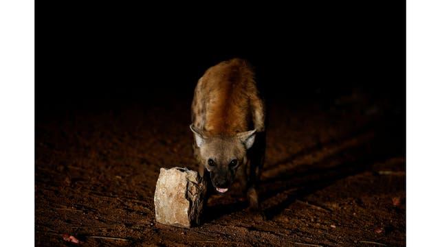 Una hiena reacciona a la cámara mientras está siendo alimentada