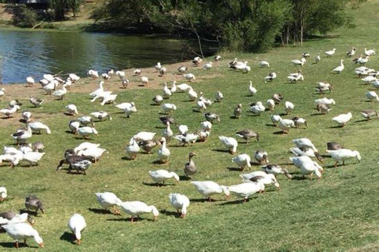 Los gansos también serán ubicados en otras granjas y reservas