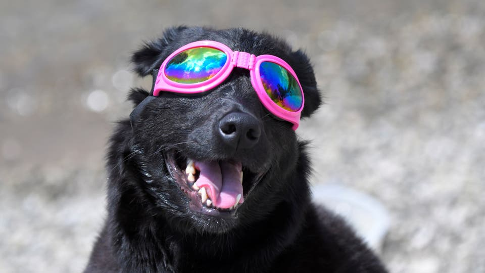 Madison el perro que mira el eclipse en Tennessee. Foto: Reuters