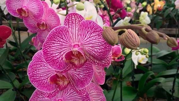 La phalaenopsis es uno de los ejemplares más lindos y fáciles de cuidar