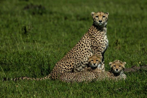 Grandes felinos como el chita y el leopardo están en extinción