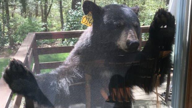 El oso intentó ingresar a la casa de una mujer estadounidense que se encontraba cocinando brownies
