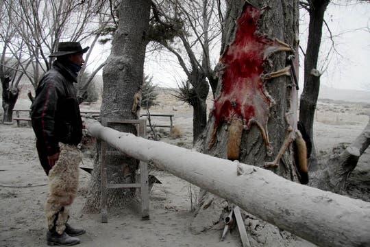 Un peón mira la piel de zorro cazada por él mismo 2 días atrás. Los animales  comienzan a bajar de los cerros en busca de alimentos. Los productores de la Línea Sur están extremadamente preocupados. Foto: LA NACION / Alfredo Leiva