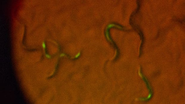 Los gusanos brillan con los genes de luciérnagas