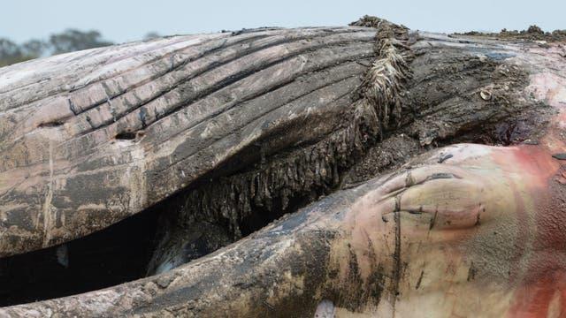En la cavidad oral del cuerpo de la ballena se encontraron sogas