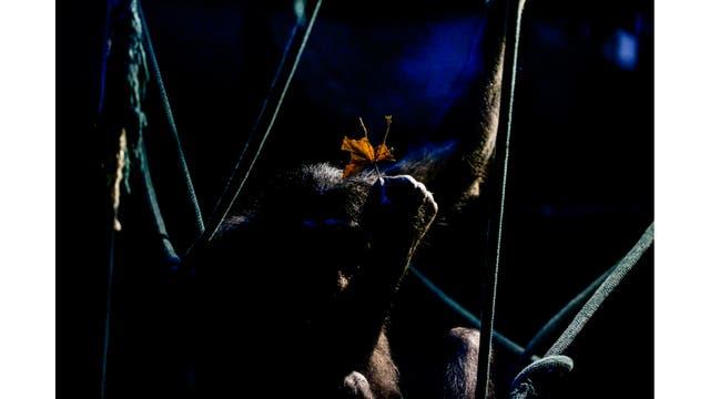 Un chimpancé sostiene una hoja sentado sobre sogas en su recinto