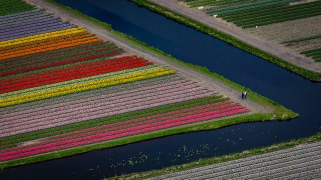 Turistas caminando por los campos de tulipanes