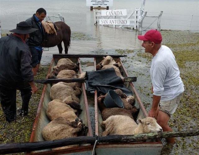Rescate de ovejas en Berón de Astrada