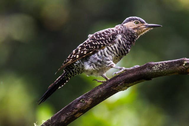 Pitío, ave del PN Los Alerces. Foto: Gustavo Castaing