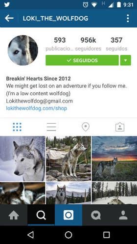 Loki, un perro lobo con casi un millón de seguidores en Instagram