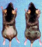Un experimento demostró que es posible regenerar el pelo de ratones