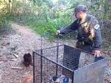 Misiones: rescataron un oso hormiguero en peligro de extinción que deambulaba por una ruta