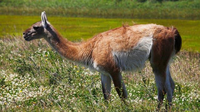 El censo realizado por el INTA en 2015 determinaron una población de 1,3 millones de guanacos