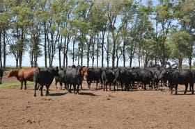 La ganadería es de alta producción en el establecimiento La Perla, en Huinca Renancó