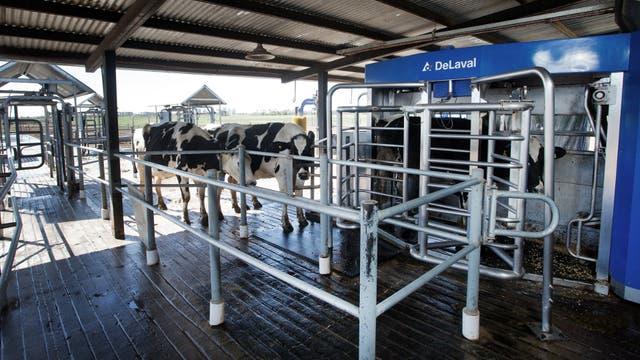 Si la vaca tiene permiso de ordeñe, las puertas la derivan al sector donde se encuentra el robot