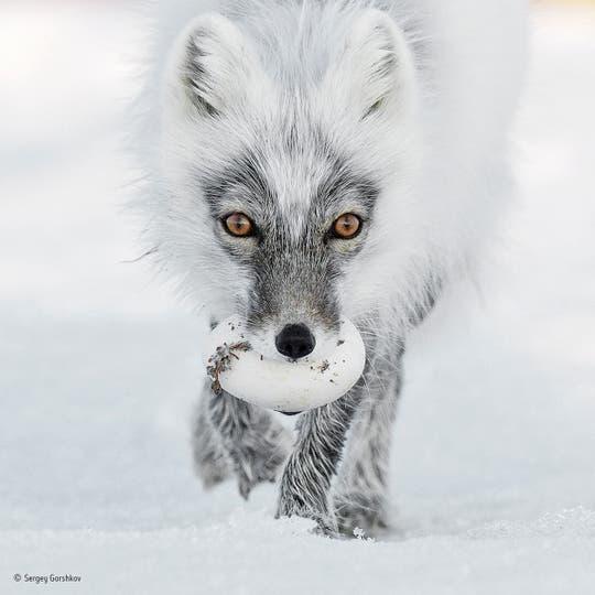 """""""Arctic treasure"""". Llevando su trofeo de una incursión en un nido de ganso de las nieves, un zorro ártico se dirige a un lugar apropiado para entierrarlo. Esto es Junio ??y hora de la bonanza para los zorros de la isla de Wrangel en el extremo oriente ruso"""