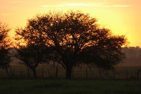 Entre ocasos y amaneceres, el caldén renueva su firmeza en suelo pampeano