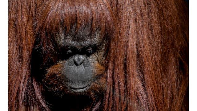 La orangután Sandra en su recinto
