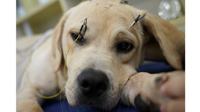 Un perro recibe tratamiento de acupuntura en Shanghai TCM