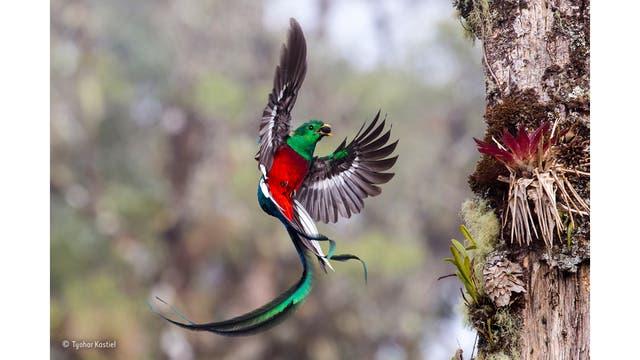 """""""Resplendent delivery"""". Tyohar observó el par de resplandecientes quetzales desde el amanecer hasta el atardecer durante más de una semana mientras entregaban frutas e insectos o lagartos ocasionales. Costa Rica"""
