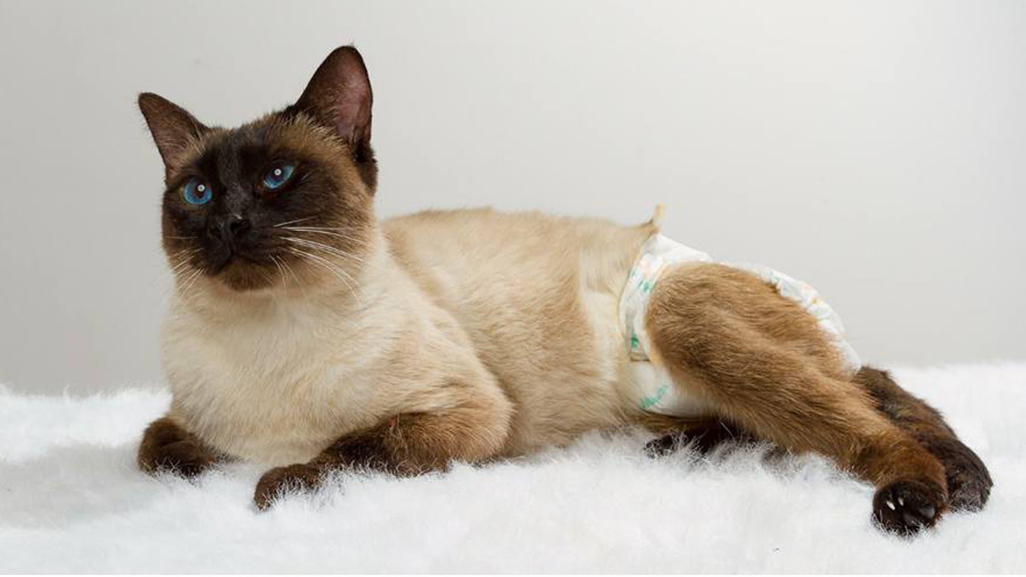 El extraño caso de Filippo, el gato de raza que busca hogar hace más de 2 años