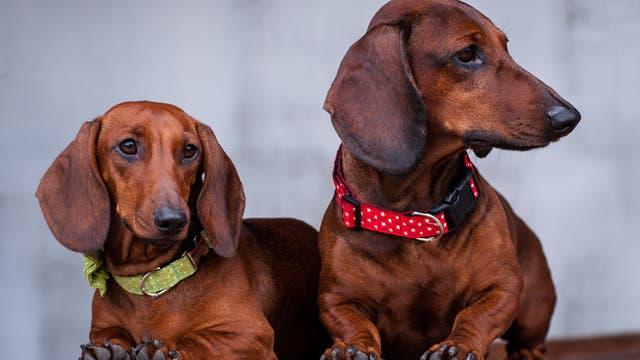 Los perros, víctimas del estruendo generado por la pirotecnia