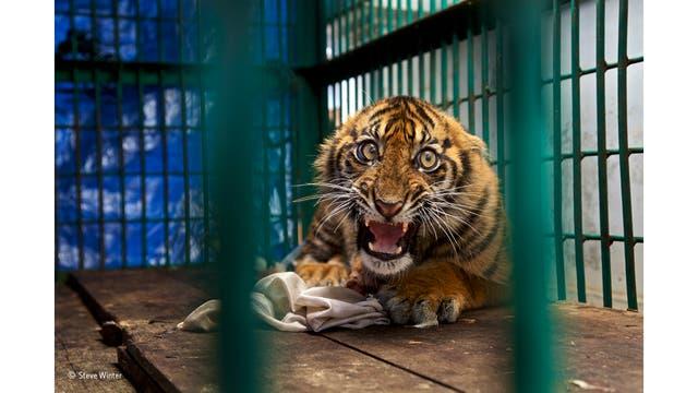 """""""Saved but caged"""". Un tigre con su pata trasera amputada luego de quedar atrapado en una trampa, encerrado en una jaula de un zoológico en Sumatra"""
