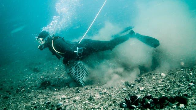 Los buzos bajan hasta el lecho marino para recoger los mariscos; están conectados con una manguera a un compresor