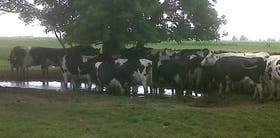 Vacas holando afectadas por la inundación en Esperanza, Santa Fe