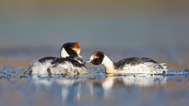 El macá tobiano es un ave en peligro de extinción; se lo conoce desde 1974
