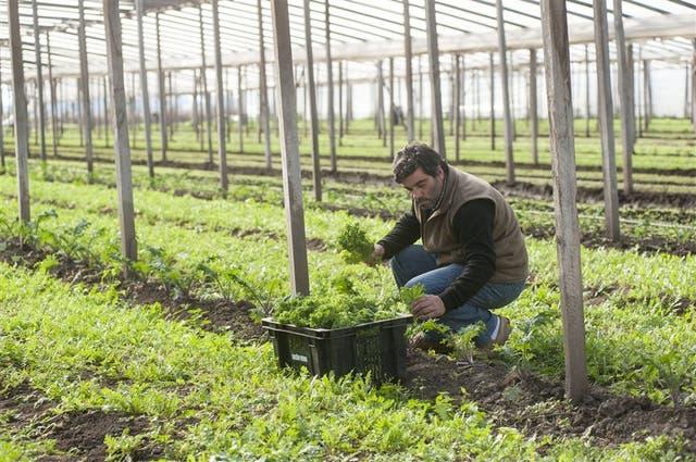José Carlos Días, encargado de producción de Sueño Verde, en plena cosecha de kale