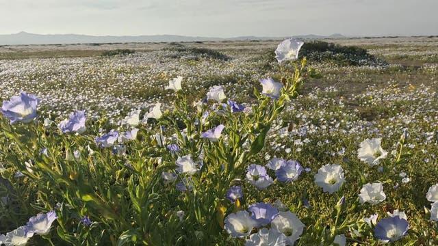El fenómeno natural atrae a turistas y botánicos de todo el mundo