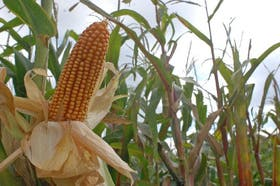 El maíz, en una encrucijada por mayores costos