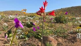 """El """"desierto florido"""" ocurre entre las ciudades de Vallenar y Copiapó"""