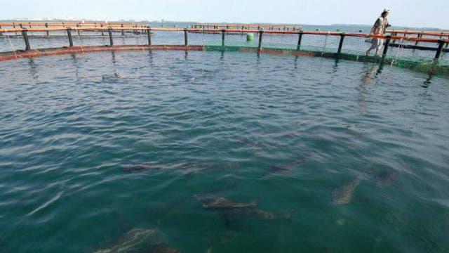 Los criaderos de cobia suelen ser en jaulas flotantes sumergidas en mar abierto