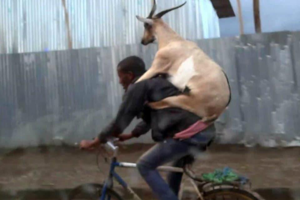 """La cabra que viaja a """"caballito """" de su dueño en bicicleta es furor en la Web"""
