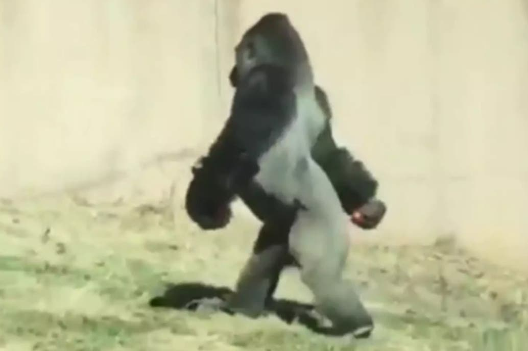 Gorila sorprende a turistas por su forma de caminar — Video viral