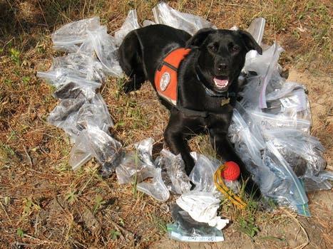 CONSERVACION. Una hembra de Working Dogs for Conservation halló en un día 50 muestras de material biológico del oso negro. Foto: WDC