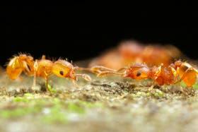 Las hormigas Wasmannia auropuntata pasaron de la Argentina a otros países del mundo