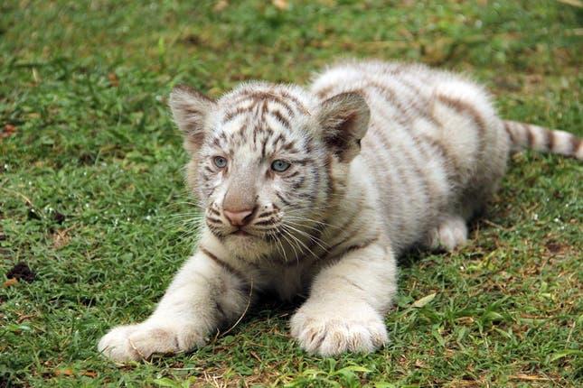 Nacieron cuatro tigres de Bengala en el Zoo porteño