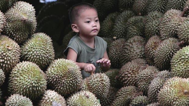 Tan fuerte es el olor del Durio zibethinus que en muchos sitios está prohibido su consumo.