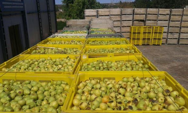Por la pérdida de rentabilidad, una empresa del Alto Valle envió a industria para jugo un millón de kilos de pera que originalmente iba a exportar