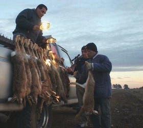 Los hábitos nocturnos de las liebres obligan a que su captura se lleve a cabo de noche, con camionetas, reflectores y armas de fuego