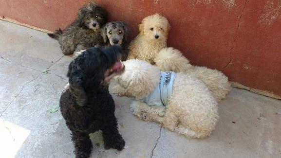 El laboratorio planea extender los test para que puedan ser aplicados a otras razas y enfermedades, como por ejemplo Caniche, Collie, Border Collie y Bull Terrier