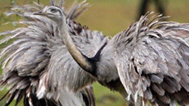 Ñandú: es omnívoro, es decir, se alimenta de hierbas, semillas, frutos, insectos, reptiles y hasta pequeños mamíferos. Es polígamo. Hace nidos comunitarios. El macho es el que se encarga de incubar y cuidar el nido