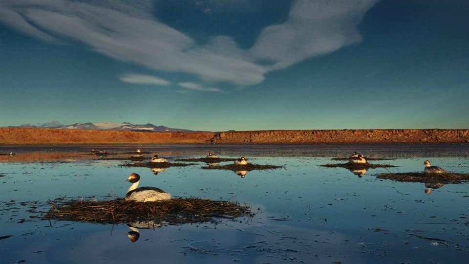 Si se construyen las represas, el macá tobiano se quedará sin su hábitat y corre riesgos de extinguirse. Foto: Gentileza Darío Podestá